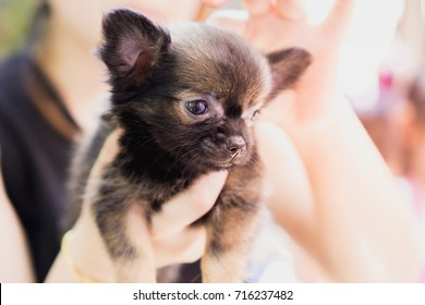 Black Chihuahua is being cared.