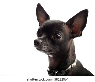black chihuahua head