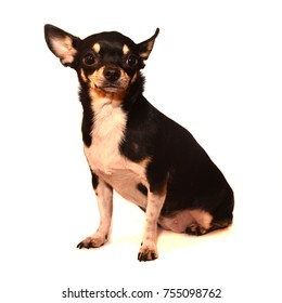 Black Chihuahua on a white background
