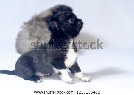 Black Chihuahua Puppies On White Background Stock Photo Edit Now