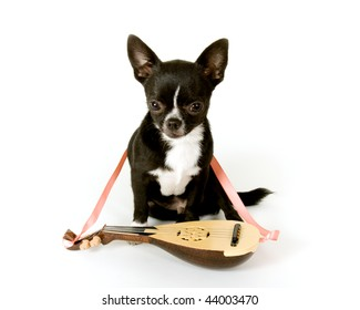 Black chihuahua puppy with  guitar ready for a fiesta!  Puppy is looking directly at camera and has his pink tongue sticking out. Happy Cinco de Mayo.