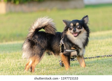 black chihuahua is standing on the lawn and smiling happily. Chihuahua is a small dog popular in the home. Have a playful and cheerful habit.