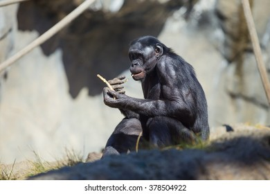 Black chimpanzee eating amidst some othe chimpanzees in California.