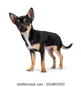 black chiwawa dog standing side ways smiling at the camera isolated on white background
