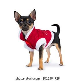 black chiwawa dog standing side ways wearing cute christmas jacket isolated on white background