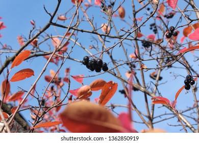 Black chokeberry or Aronia