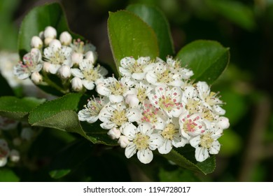 Black chokeberry (Aronia melanocarpa), bloom of the superfruit