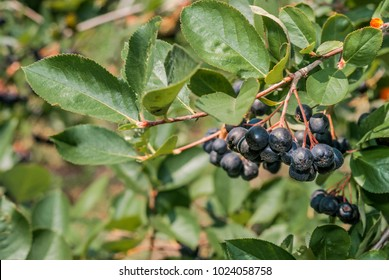 Black Chokeberry (Aronia melanocarpa) in orchard, Moscow region, Russia