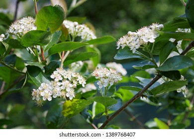 Black chokeberry blossoms (Aronia melanocarpa) in the garden. Close up of Aronia white flowers in spring.