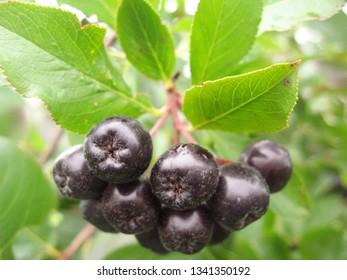 Black Chokeberry growing in the garden. Aronia melanocarpa, Black Chokeberry