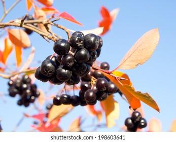 Black chokeberry on a blue sky  background. Aronia melanocarpa