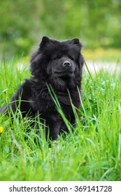 black chow chow dog posing outdoors