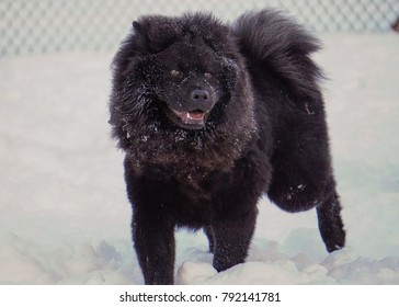 Black chow-chow dog in the snow
