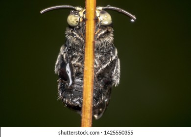 Black Cloak and Dagger Cuckoo Bee (Thyreus) with ghost looking eyes and antennas pointing each side sitting on a stick