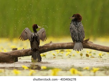 Black, close up photo of two waterbirds Pygmy Cormorant, Microcarbo pygmaeus with outstretched wings in rain,perched on branch over pond with yellow flowers against green reeds in background.Hungary.