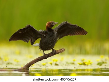 Black, close up photo of waterbird Pygmy Cormorant, Microcarbo pygmaeus with outstretched wings in rain, perched on branch over pond with yellow flowers against green reeds in background. Hungary.