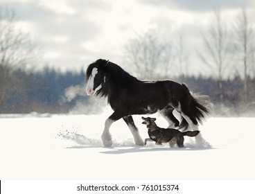 black Clydesdale horse and dog run next to each other in winter field