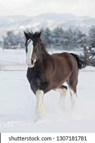 Black Clydesdale Trotting in the Snow