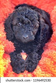 Black cockapoo curly haired puppy lying on an orange fluffy blanket the puppy is stairing directly into the camera with her front two paws stretched out infront of her