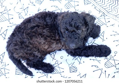 Black cockapoo curly haired puppy lying on an white and black blanket the puppy is stairing directly into the camera with her front two paws stretched out infront of her