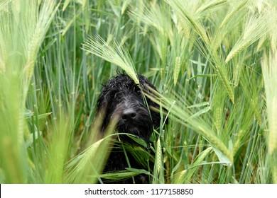 Black Cockapoo Dog in a barley field.