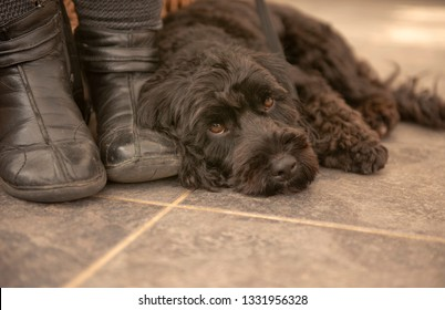 Black Cockapoo puppy resting by owners feet