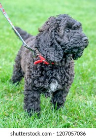 Black cockerpoo curly haired puppy Running through green grass on a lead with a red collar, she has a triangle of white fur on her chest and long black curly ears