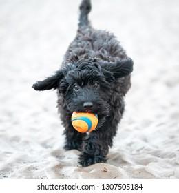 Black Cockerpoo running on shore with ball