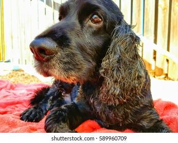black Cockerspaniel  dog animal themes