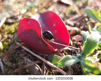 Black coleoptera on red autumn leafs