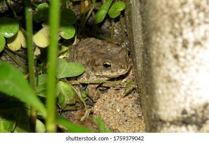 Black color Frog on the ground, Great Details of Texas toad frog,