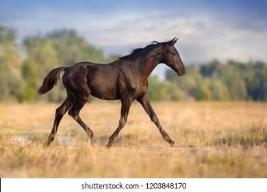 Black colt trotting on autumn field