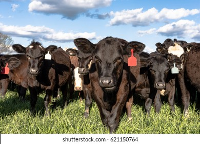 Black commercial Angus crossbred heifers in a lush green spring pasture