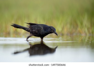 A black Common Grackle stands in shallow water feeding on small minnows