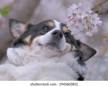 A black corgi dog laughing at the cherry blossoms in front of him in a horizontal position