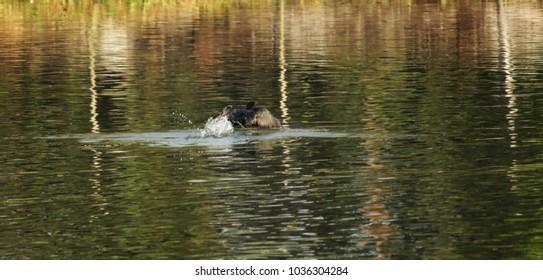 black cormorant fishing in a pond