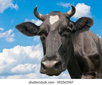 Black cow against blue sky background