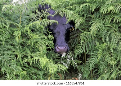 Black cow in Bracken. The thick, dense bracken completely hides the cow other than the head munching happily.