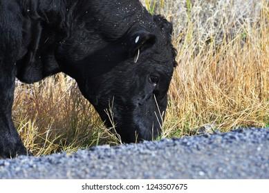 Black cow browsing