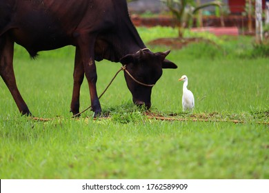 A black cow eat grass and white bittern on the field