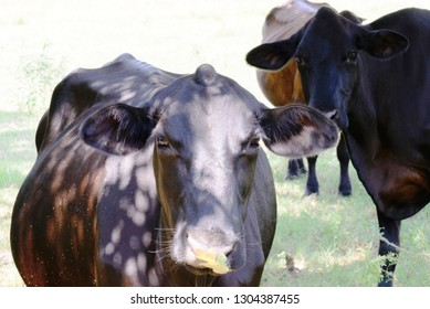 black cow with fall leaf on nose - grass and trees