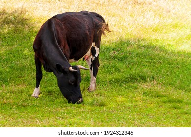 A black cow grazes in a field on a summer day, close-up.