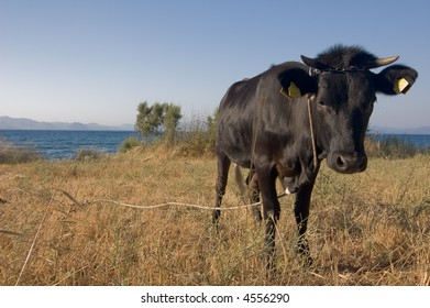 Black cow at the sea