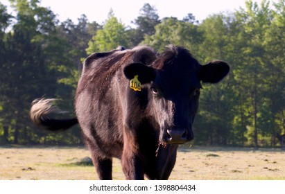 black cow swishes her tail and walks towards the camer