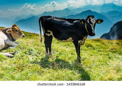 black cow in the swiss alps on mount pilatus switzerland