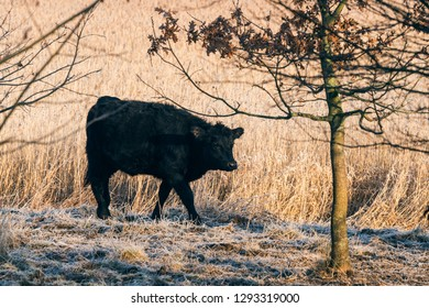 Black cow walking along a wheat field with frost on the ground in the early winter
