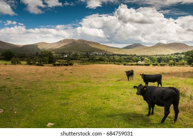 Black cows in field im Mourne mountains, Northern Ireland
