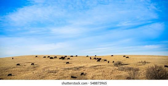 Black Cows Grazing in a Golden Field Under a Cloudy, Blue Sky - Bismark, North Dakota.