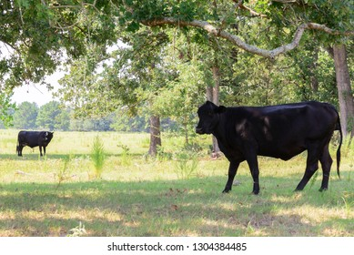 black cows roaming on a ranch with grass and trees