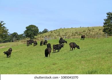 Black cows in Yamagata,Japan.